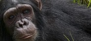 Mountain Gorillas and Chimpanzees in Uganda, 8 Days Safari / Trekking Tour, Accommodated