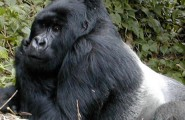 Gorilla Trekking in Rwanda, 4 Days Trekking Tour, Accommodated